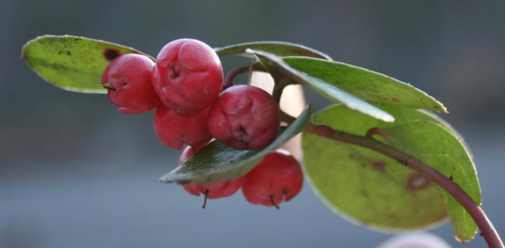 benefits of wintergreen